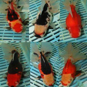 15-18cm Photographed Fancy Goldfish