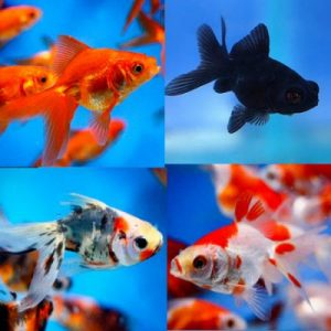 Assorted and Small Fancy Goldfish